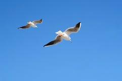 Gabbiani in volo contro cielo blu Fotografie Stock Libere da Diritti