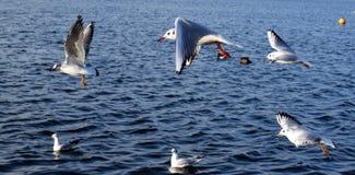 Gabbiani in volo sul lago Immagine Stock
