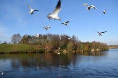 Gabbiani in volo sul lago Immagini Stock