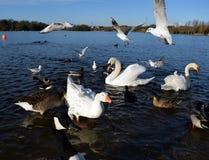 Gabbiani in volo sul lago Fotografia Stock Libera da Diritti