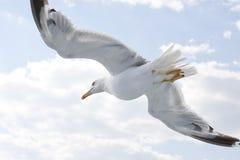Gabbiano Fotografie Stock Libere da Diritti
