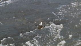 Gabbiano in acqua Fiume nordamericano paesaggio stock footage