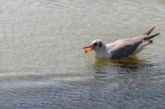 Gabbiano adulto che galleggia sull'acqua blu calma fotografia stock
