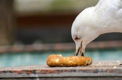 Gabbiano affamato Fotografia Stock
