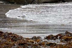 Gabbiano in alga Fotografie Stock Libere da Diritti