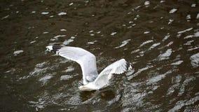Gabbiano in ali delle falde dell'acqua stock footage