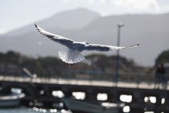 Gabbiano in ali van de voloadvertentie aperte Zeemeeuw tijdens de vlucht met open vleugels Stock Afbeelding