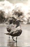 Gabbiano alla baia di Monterey fotografie stock