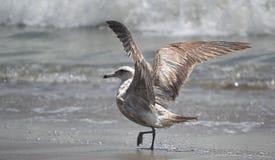 Gabbiano alla baia di Monterey Fotografie Stock Libere da Diritti