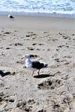 Gabbiano alla spiaggia California di Hermosa nella contea di Los Angeles, California, Stati Uniti immagini stock libere da diritti