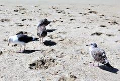Gabbiano alla spiaggia California di Hermosa nella contea di Los Angeles, California, Stati Uniti fotografia stock libera da diritti