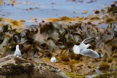 Gabbiano alla spiaggia in Moeraki fotografia stock