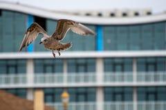 Gabbiano Anello-fatturato sull'ala fotografie stock libere da diritti
