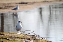Gabbiano Anello-Fatturato sulla spiaggia Fotografie Stock
