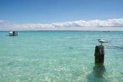 Gabbiano - Anse de Sainte Anne - Guadalupa - isola tropicale caraibica Immagine Stock