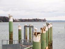 Gabbiano appollaiato sui pali di attracco del porto fotografia stock libera da diritti
