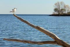 Gabbiano appollaiato sul vecchio albero Fotografie Stock