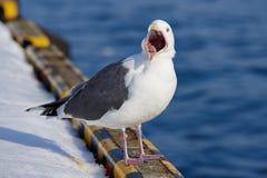 Gabbiano arrabbiato dell'uccello Fotografie Stock