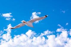 Gabbiano bianco che si libra nel cielo Volo del ` s dell'uccello Gabbiano sul fondo del cielo blu Immagini Stock