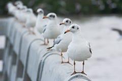 Gabbiano bianco che sta sul ponte fotografia stock