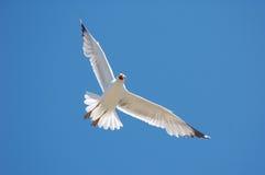 Gabbiano bianco su cielo blu Immagini Stock
