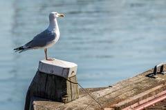 Gabbiano bianco su una colonna di legno nel porto Fotografie Stock