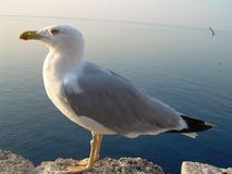 Gabbiano bianco sulla costa francese in Europa immagini stock libere da diritti