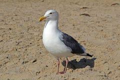 Gabbiano bianco sulla spiaggia sabbiosa Fotografia Stock