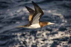 1 gabbiano caraibico della testa di legno che vola in basso Immagine Stock Libera da Diritti