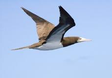 Gabbiano caraibico della testa di legno che vola su Immagine Stock Libera da Diritti