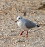 Gabbiano che cammina sulla sabbia Fotografia Stock Libera da Diritti