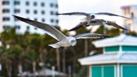 Gabbiano che conduce il volo alla spiaggia del sud, Miami Fotografia Stock Libera da Diritti