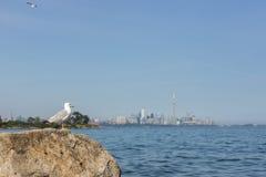 Gabbiano che esamina il lago Ontario all'orizzonte di Toronto fotografia stock libera da diritti