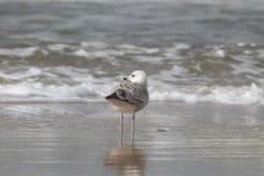 Gabbiano che fa una pausa la spiaggia che guarda le onde entrare fotografia stock