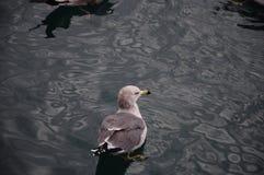 Gabbiano che galleggia nel mare Immagini Stock Libere da Diritti