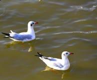 Gabbiano che galleggia nel mare al crepuscolo Fotografie Stock