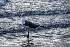 Gabbiano che gode dell'oceano Fotografie Stock