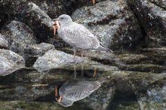 Gabbiano che mangia le stelle marine Fotografia Stock