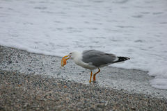 Gabbiano che mangia sulla sabbia Fotografia Stock