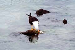Gabbiano che mangia un pesce Immagine Stock Libera da Diritti