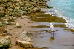 Gabbiano che passeggia su Sandy Beach, circondato da varie rocce del mare, fotografie stock