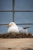 Gabbiano che protegge il suo nido Fotografia Stock Libera da Diritti