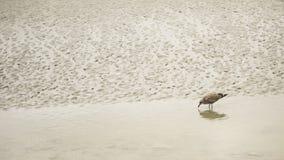 Gabbiano che si alimenta nella marea del mare Fotografia Stock Libera da Diritti