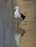 Gabbiano che si leva in piedi sulla spiaggia Fotografie Stock Libere da Diritti