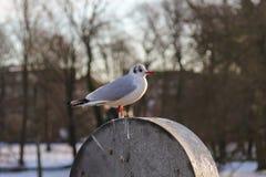Gabbiano che si siede su un barilotto a Copenhaghen, Danimarca fotografia stock