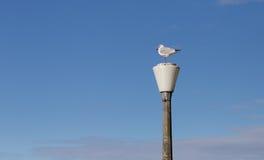 Gabbiano che si siede su una lampada di via fotografia stock
