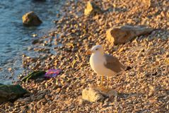 Gabbiano che si siede sulla spiaggia su una pietra Fotografie Stock Libere da Diritti