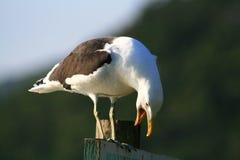 Gabbiano che squawking Fotografia Stock