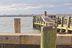 Gabbiano che sta sulla posta di legno fotografia stock