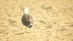 Gabbiano che sta sulla sabbia stock footage